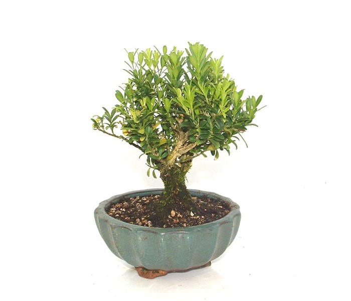 Harland boxwood bonsai tree in cm round pot