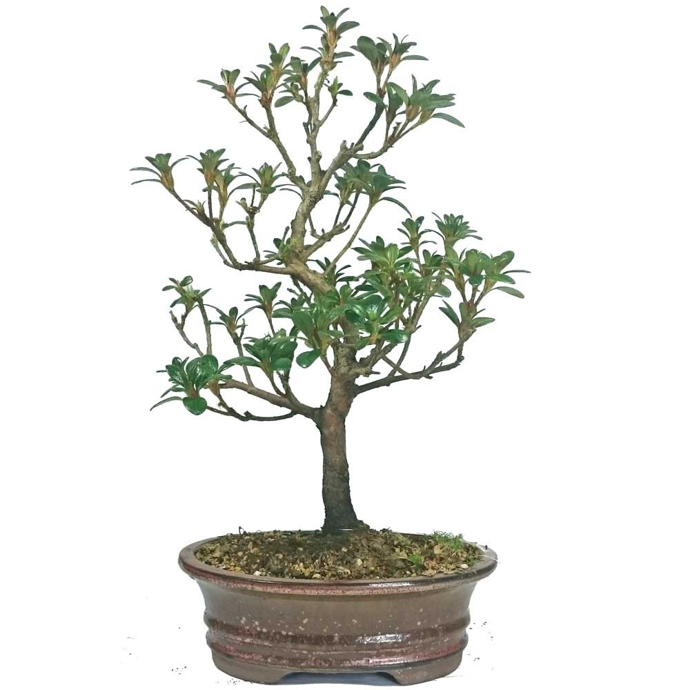 satsuki azalea bonsai tree 18cm pot. Black Bedroom Furniture Sets. Home Design Ideas