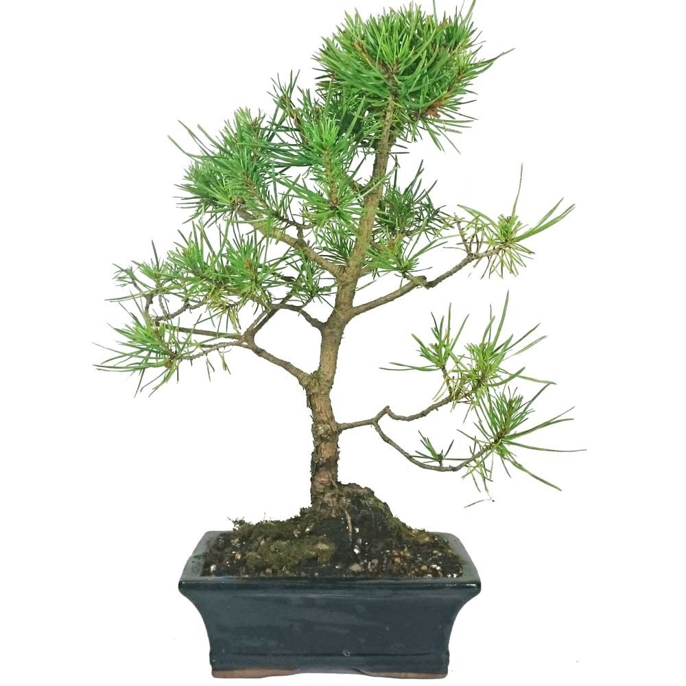 jack pine bonsai tree in 19cm pot. Black Bedroom Furniture Sets. Home Design Ideas