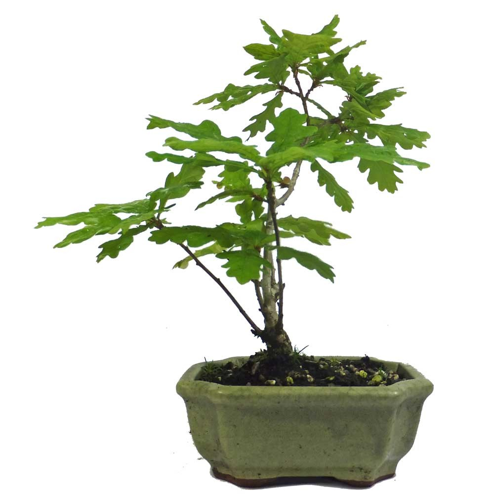 Quercus Oak Bonsai Starter Trees In 13cm Ceramic Pots