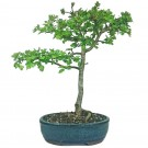 Hawthorn - Outdoor Bonsai Tree in 21cm Pot