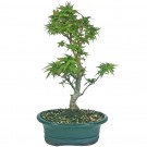 Japanese Kotohime Maple Bonsai Tree in 19cm Pot
