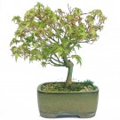 Japanese Kiyohime Maple Outdoor Bonsai Tree