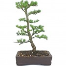 Deciduous Larch Bonsai Tree in 25cm Plastic Pot