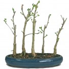 Ginkgo - Bonsai Tree Group