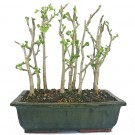 Ginkgo - Bonsai Tree Forest