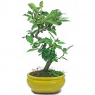 Crab Apple Flowering Bonsai Tree in 16cm Pot