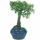 Chinese Elm Bonsai Tree in 12cm Pot