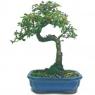 Chinese Elm Bonsai Tree In 16cm Pot