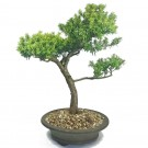 Taxus Yew Bonsai Tree in 25cm Round Bonsai Pot
