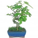 Wild Fig Outdoor Bonsai Tree in 16cm Pot