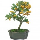 Firethorn Flowering Bonsai Tree