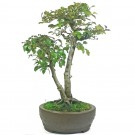 Korean Hornbeam Bonsai Tree - 20cm Pot