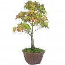 Japanese Maple Bonsai Tree in 18cm Round Pot