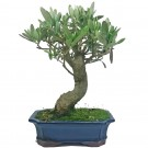 European Olive Bonsai Tree in 21cm Pot