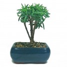 Crassula Tetragona Bonsai Accent or Small 'Tree'