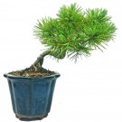 Japanese White Pine Shohin Bonsai Semi Cascade