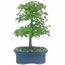 Japanese Zelkova Bonsai Tree in 15cm Pot